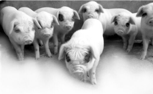 一群猪的照片可爱