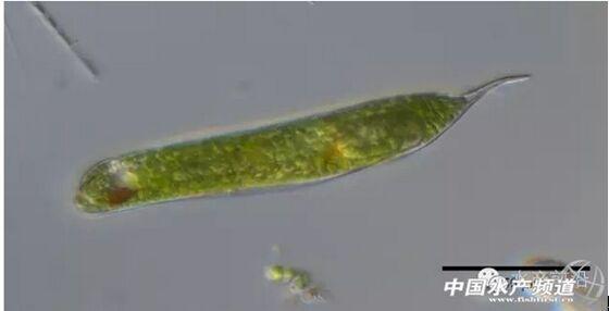 小等刺硅鞭藻_提醒珍藏!史上最全高清藻类图谱(2)-畜牧人才网