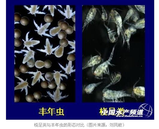 桡足类的分类地位与虾类,丰年虫一样,都属于甲壳动物,与丰年虫的分类