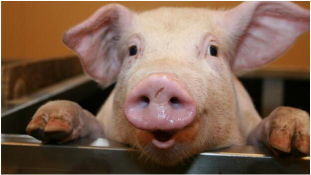 动物小猪笑一笑的图片