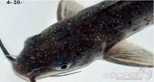 最常见的鱼类寄生虫病 白点病的防治方法