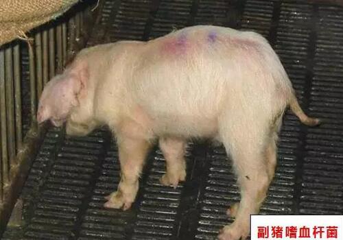 可爱如猪文字图片